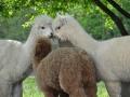 Alpakák